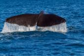 The tail of a Sperm Whale diving. — Stock Photo
