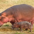 Постер, плакат: Hippo walking with baby hippo
