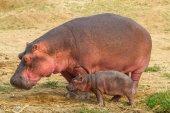 Hippo walking with baby hippo — Stock Photo