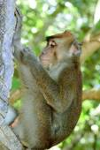 Wild macaca monkey in tropical forest — Photo