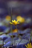 Delicate yellow flower photographed in the swamp — Stok fotoğraf