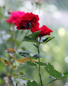 Small red rose photographed in the park — Foto de Stock