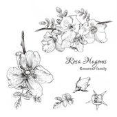 Rosa Hugonis ink sketch. — Stock Vector