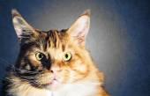 Maine coon red orange cat portrait — Stock Photo