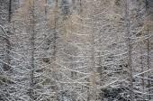 Árvores no inverno com neve como uma textura — Fotografia Stock