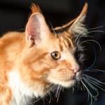 Maine coon red orange cat portrait — Stock Photo #61410037