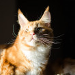Maine coon red orange cat portrait — Stock Photo #61410171