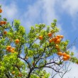 Orange tangerine branch on a tree in a sunny day  — Stock Photo #69425323