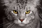 Close-up silver Maine Coon — Stock Photo
