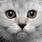 Close-up scottish straight kitty — Stock Photo #56649435