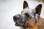 Close-up German shepherd with snout in snow — Stock Photo