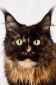 Closeup ginger tortie Maine Coon cat looking in camera — Stock Photo