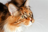 Closeup ginger tortie Maine Coon cat looking at right — Stock Photo