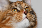 Closeup ginger tortie Maine Coon cat looking up — Stock Photo
