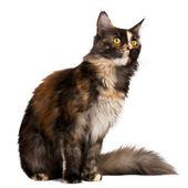 Brown tortie Maine Coon cat looking at right — Stock Photo