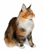Ginger tortie Maine Coon cat looking at right — Stock Photo