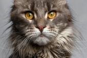 Closeup brown tortoiseshell  Maine Coon cat looking in camera — Stock Photo