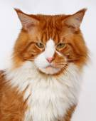 Closeup ginger Maine Coon cat — Stock Photo
