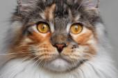 Closeup white with ginger Maine Coon cat — Stock Photo