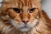 Closeup angry ginger Maine Coon cat  — Stock Photo