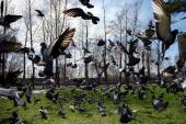 Pigeons taking off from grass — Stock Photo