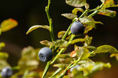 Blueberries and spider — Stock Photo