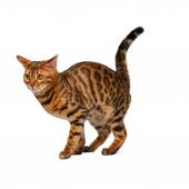 Bengal cat is going to crap on white  — Stock Photo