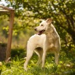 Funny White Dog Turned Back Outdoor — Stock Photo #72763927