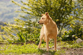 Funny Ginger Dog Stands on Grass Outdoor — Stock Photo
