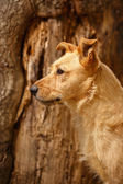 Profile Ginger Dog on Wood Background — Stock Photo