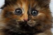 Closeup Cute Tortie Kitten on White — Stock Photo