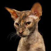 Closeup Portrait Peterbald Sphynx Cat in front of Black — Stock Photo