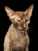 Closeup kızgın Peterbald Sphynx kedi siyah — Stok fotoğraf