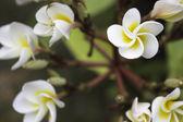 Plumeria flower — Stock Photo