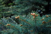 Detail of fresh spruce branch in forest — Stock Photo