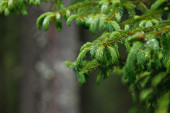 Closeup of pine branches — Stock Photo