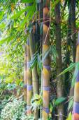 Bamboo in Forest Grove seem healthy — Stock Photo