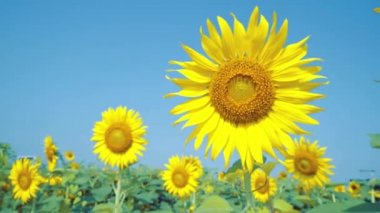 Double sunflowers shot which one blue, out of focus — Video Stock
