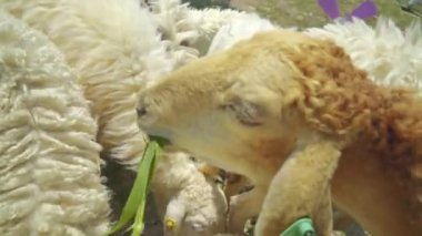 Sheep, lamp feeding deliciously with grass — Stockvideo