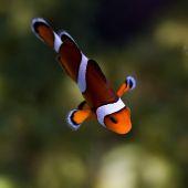 Reef fish , clown fish or anemone fish — Stock Photo