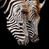A Headshot of a Burchell's Zebra — Stock Photo