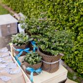 Cuties small tree in flowerpots and ribbon are gift for special  — Stok fotoğraf