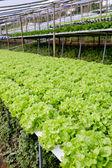 Organic hydroponic vegetable cultivation farm. — Stock Photo