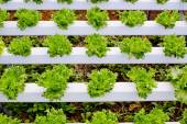 Organic hydroponic vegetable cultivation farm. — Stock Photo