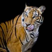 Tiger hungry — Stock Photo
