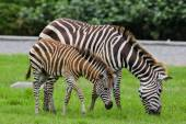 Zebra with young one — Stock Photo