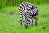 Zebra wildlife — Stock Photo
