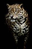 Jaguar portre kadar kapatın — Stok fotoğraf
