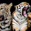Постер, плакат: Collection of portraits of Tigers and Leopard And you could fin