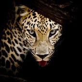 Close up  Leopard Portrait — Stock Photo